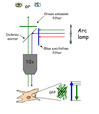 Introduction To Microscopy Duke Light Microscopy Core Facility